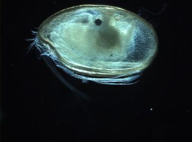 ostracode